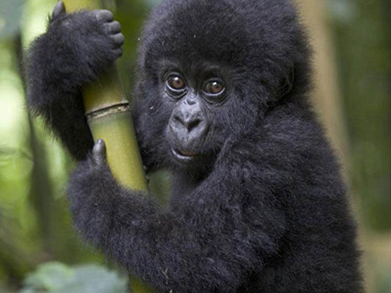 one day gorilla trekking in Rwanda